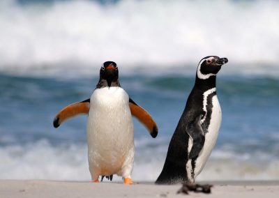 Gentoo and Magellanic penguins on beach