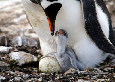 Gentoo, chick and egg in nest