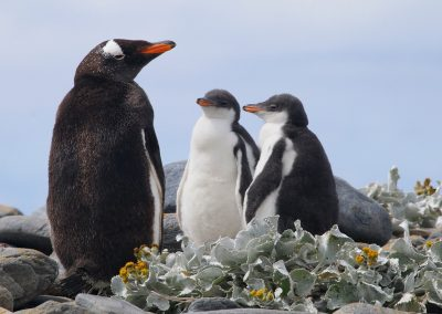 Gentoo with chicks in Sea Cabbage