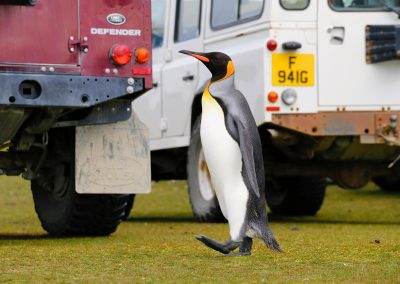 King penguin by the landrovers