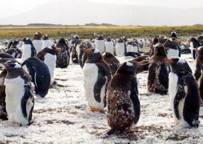 Moulting penguins