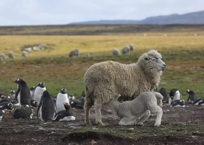 Lamb feeding next to the penguins; the best grass on the farm is at the Lagoon.