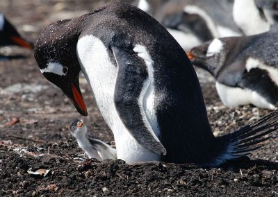 Gentoo penguin with newly hatched chick