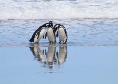 Magellanic penguins huddled on the beach